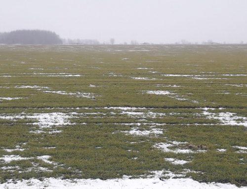 Very bad crop conditions in Romania before winter?